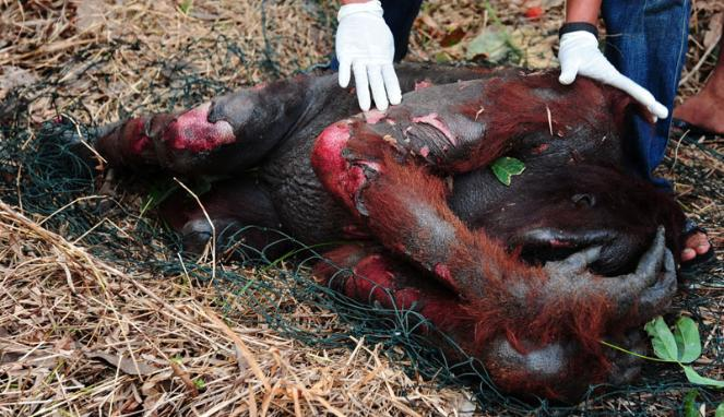 """from facebook : slaughter of orangutans """""""